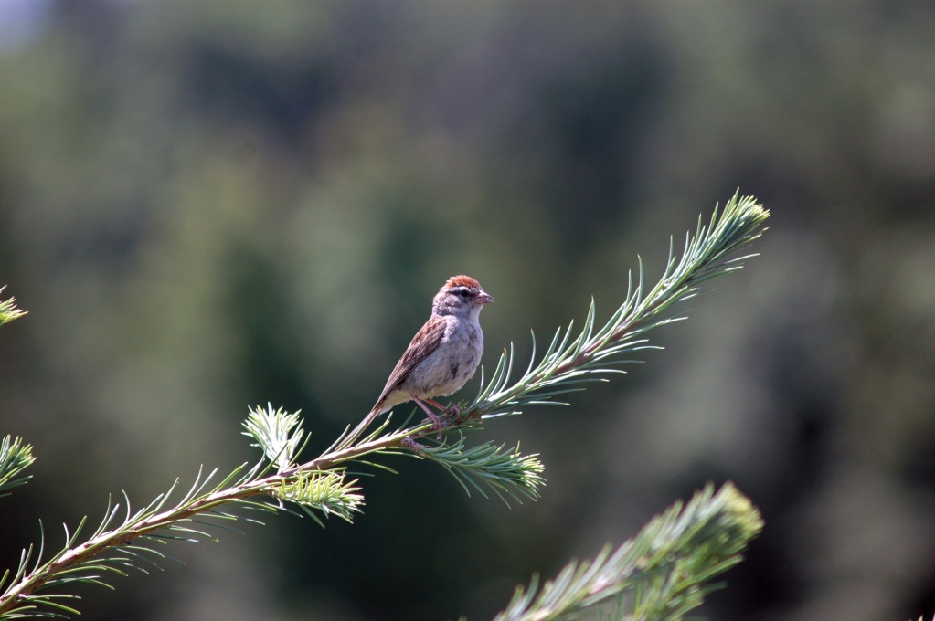 Chipping Sparrow at Wolgast Christmas Tree Farm
