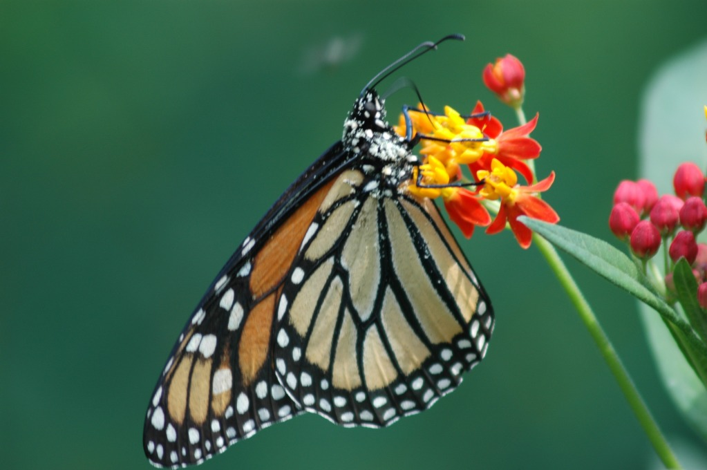 Monarch Butterfly at Wolgast Tree Farm in Somerset, New Jersey