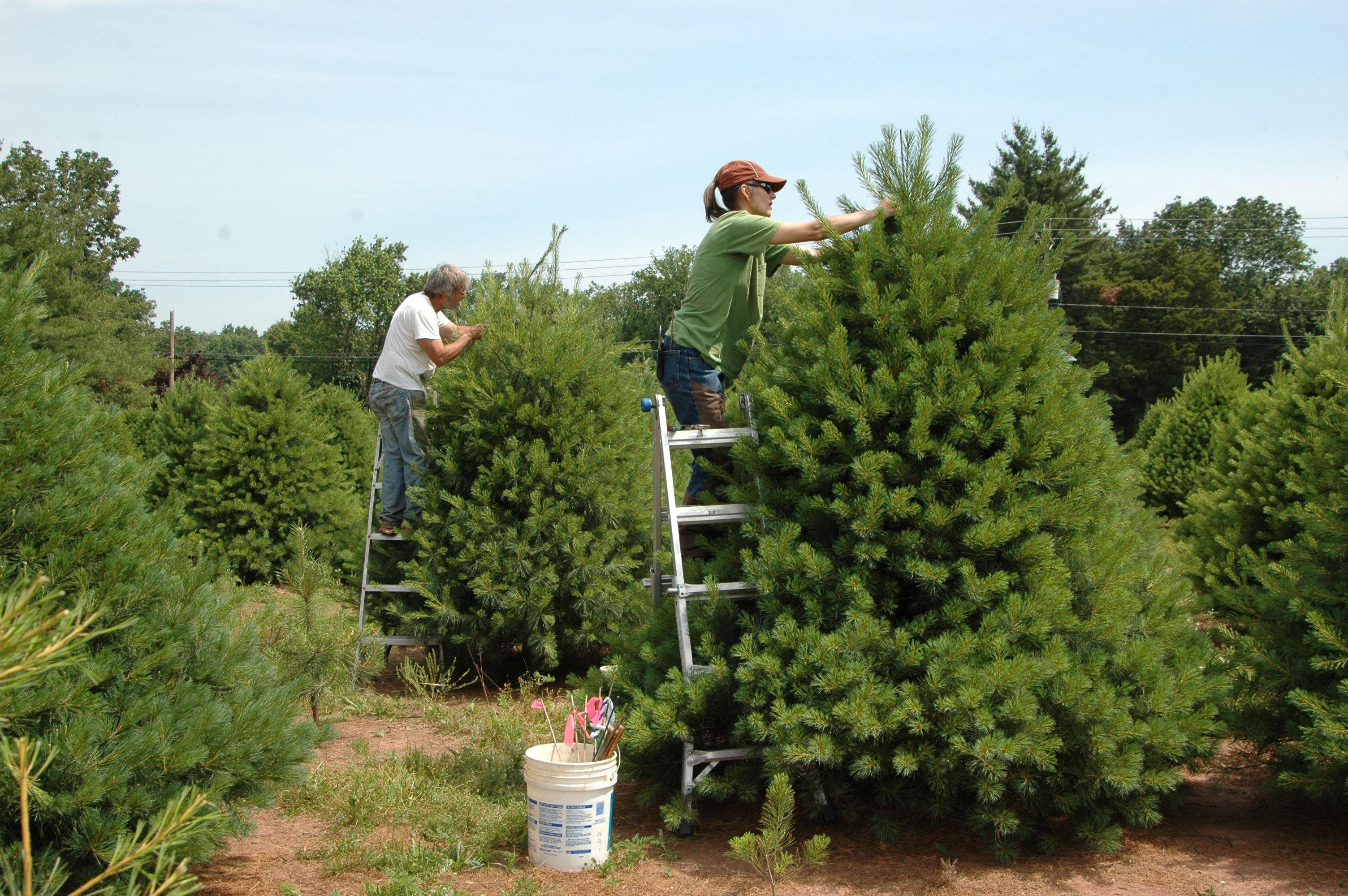 its pine time at wolgast tree farm - Bluebird Christmas Tree Farm