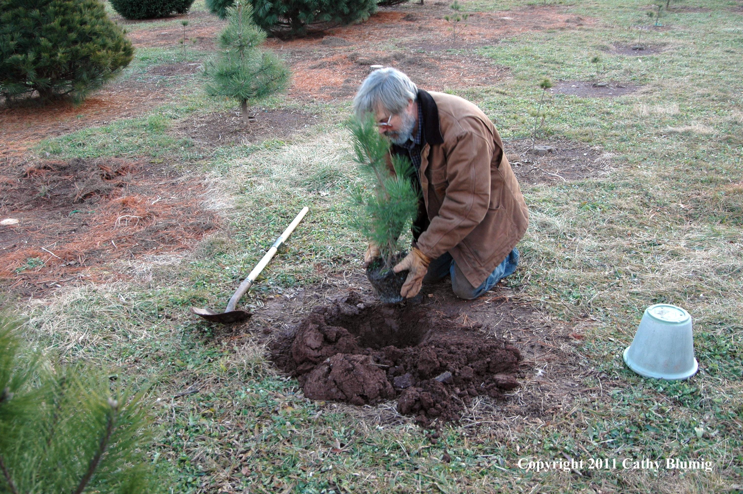 Planting Scotch Pine Seedling Wolgast Tree Farm Somerset NJ  - Christmas Tree Seedlings