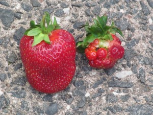 The strawberry on the left has been properly pollinated, while the one on the right has not.  Which one would you rather eat?